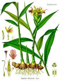 plant-gingembre