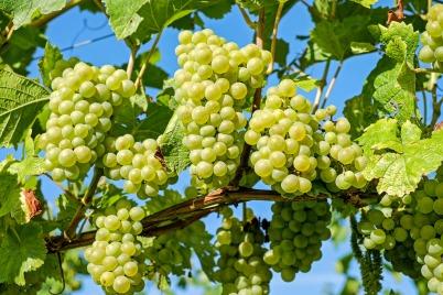 grapes-2656259_1920