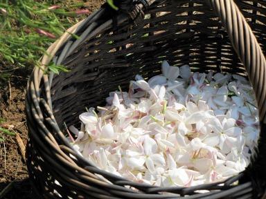 flower-2069140_1920 jasmin récolté