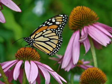 monarch-2448263_1920