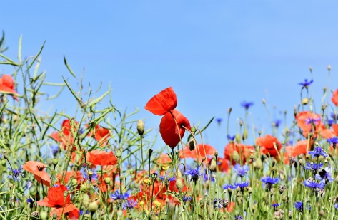 poppy-3441348_1920